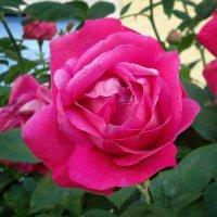 Розовая роза!!!! :: Galina Dzubina