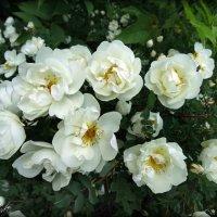 Сладких роз пьянящий аромат... :: Fededuard Винтанюк
