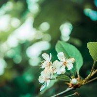 Вишня в цвету :: Олег Загорулько