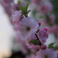 Цветок ,Саккуры. :: Андрей