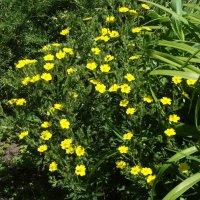 Цветёт лапчатка... :: Тамара (st.tamara)