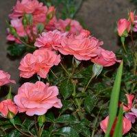 Розы :: zhanna-zakutnaya З.