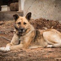 Старый пес... :: Сергей Щелкунов
