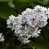 """Из серии """"Весна. Цветы."""" :: Юрий Дмитриенко"""