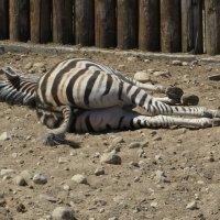 Сон без задних ног! :: Ирина Олехнович