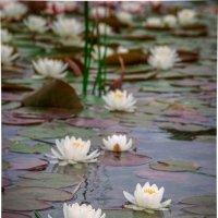 water lilies :: Katerina Tighineanu