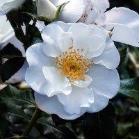 Розы из Выдубицкого монастыря Фото №7 :: Владимир Бровко