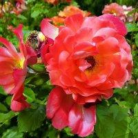 Розы из Выдубицкого монастыря Фото №9 :: Владимир Бровко