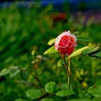 молодая роза :: Сергей Швечков