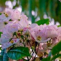 Нежное облако цветов :: Лейла Новикова