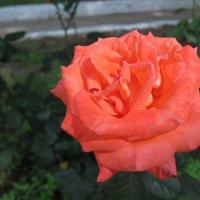 Роза :: Людмила Монахова
