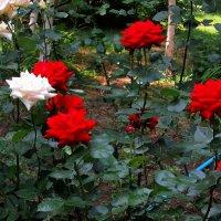 Как ярок день, когда украшен розами... :: Людмила