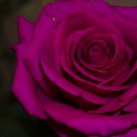 роза :: Оксана Ушанкова