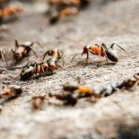 муравьи :: Андрей Иванов