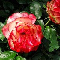 Розы  из Выдубицкого монастыря Фото №10 :: Владимир Бровко