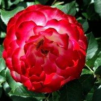 Розы  из Выдубицкого монастыря Фото №11 :: Владимир Бровко