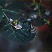 Хрусталинки дождя  стекают плавно вниз...А дождь все льёт и льёт, не думает кончаться...(МАКРО). :: Александр Вивчарик