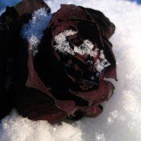Мертвая роза :: Annа Vyatkina