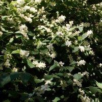 Жасмин цветет для Galina Dz. :: Александр Скамо