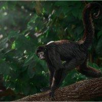 ZOO Сингапура...Чернорукая паукообразная обезьяна. :: Александр Вивчарик