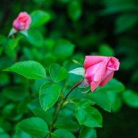 Первые розы :: Андрей Куприянов