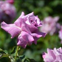 Любуюсь розой я... :: Anna Gornostayeva