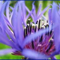 Василёк,василёк мой любимый цветок. (из раннего) :: Владимир Гилясев