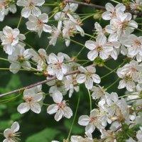 Весеннее цветение :: Вера Щукина