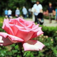 Роза и её миражи :: Alexander Andronik
