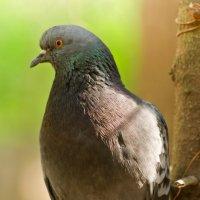Одинокий голубь. :: Виктор Евстратов