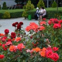 Расплескалось поле красных роз... :: Anna Gornostayeva