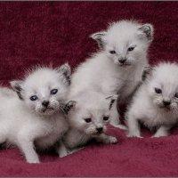 Великолепная пятёрка и вратарь...-из серии Кошки очарование мое! :: Shmual Hava Retro
