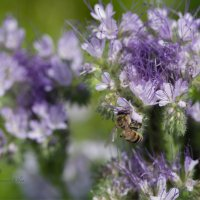 Пчёлы знают своё дело! :: Ольга Гурьянова