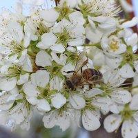 Пчела на сборе рябинового нектара :: Александр Рождественский