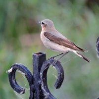 Птица каменка :: Ната Волга