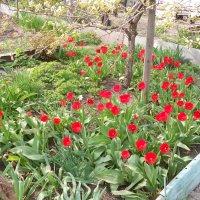 Мамины тюльпаны :: Anna Bondarenko