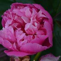 Любимый цветок... :: SVET _ LANA M