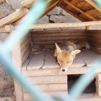 А работала лиса в зоопарке.Лисой... :: Александр Казанцев