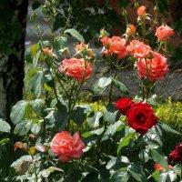 Июнь,розы в саду... :: Тамара (st.tamara)