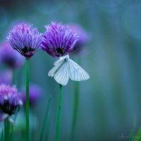 бабочка :: Светлана Радченкова