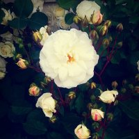 Белые розы :: Анна Y-Blare