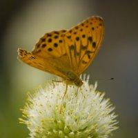 Бабочка на цветущем луке :: Ольга Гурьянова