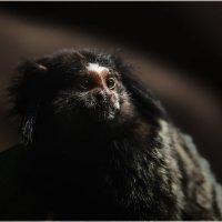 Знакомьтесь...Игрунка-мармазетка! Самая маленькая обезьяна на планете!!!ZOO Сингапура... :: Александр Вивчарик