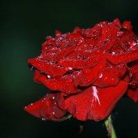 после дождя :: Светлана Попова