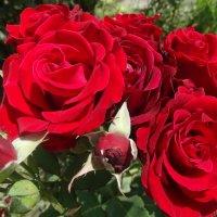Красные розы прекрасны... :: Тамара (st.tamara)