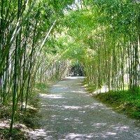 Бамбуковая аллея в сухумском ботаническом саду :: Денис Кораблёв