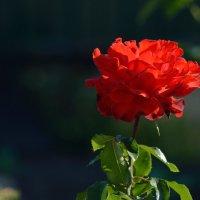 Красная роза :: Виталий Воронков