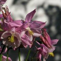 Цветок эльфов, аквилегия, коломбина, орлик и т.д :: Natali