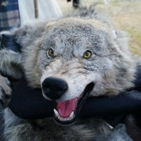 Каждый норовит серого погладить ! :: Николай Дони