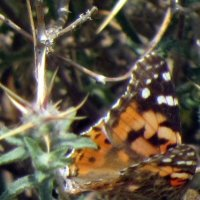 Бабочка на колючке :: Герович Лилия